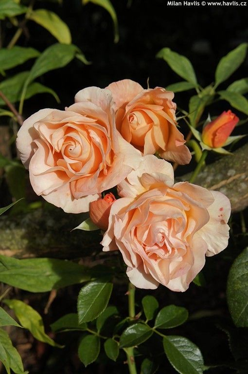 Rose Bengali Beautiful Roses Rose Orange Roses