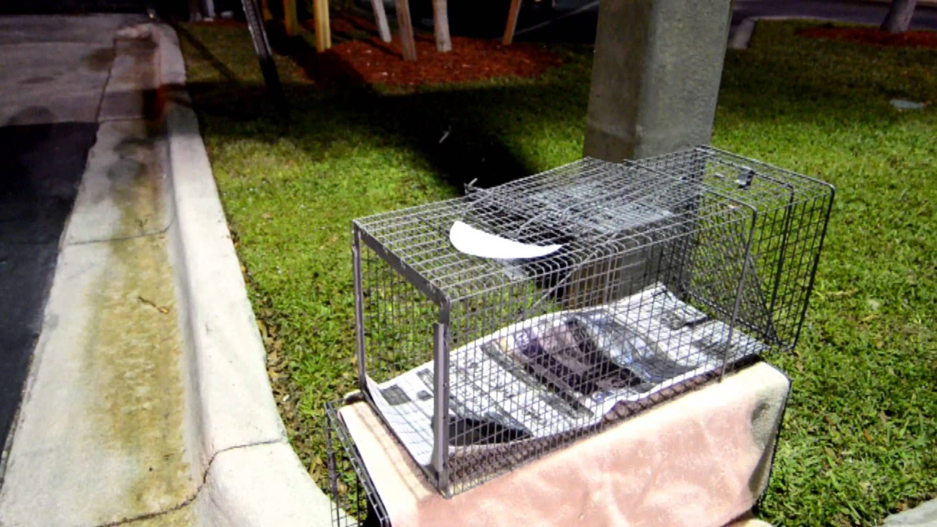 How to use a humane cat trap for feral cats feral cats