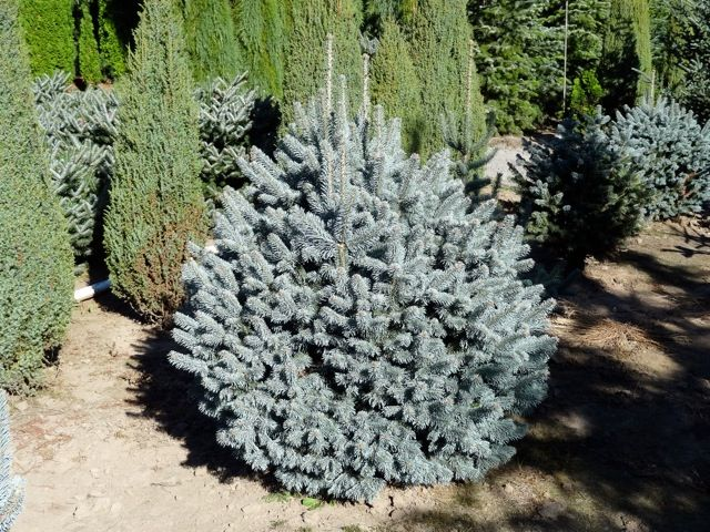 Abies Lasiocarpa Arinonica Glauca Compacta Limited Availability This Spring