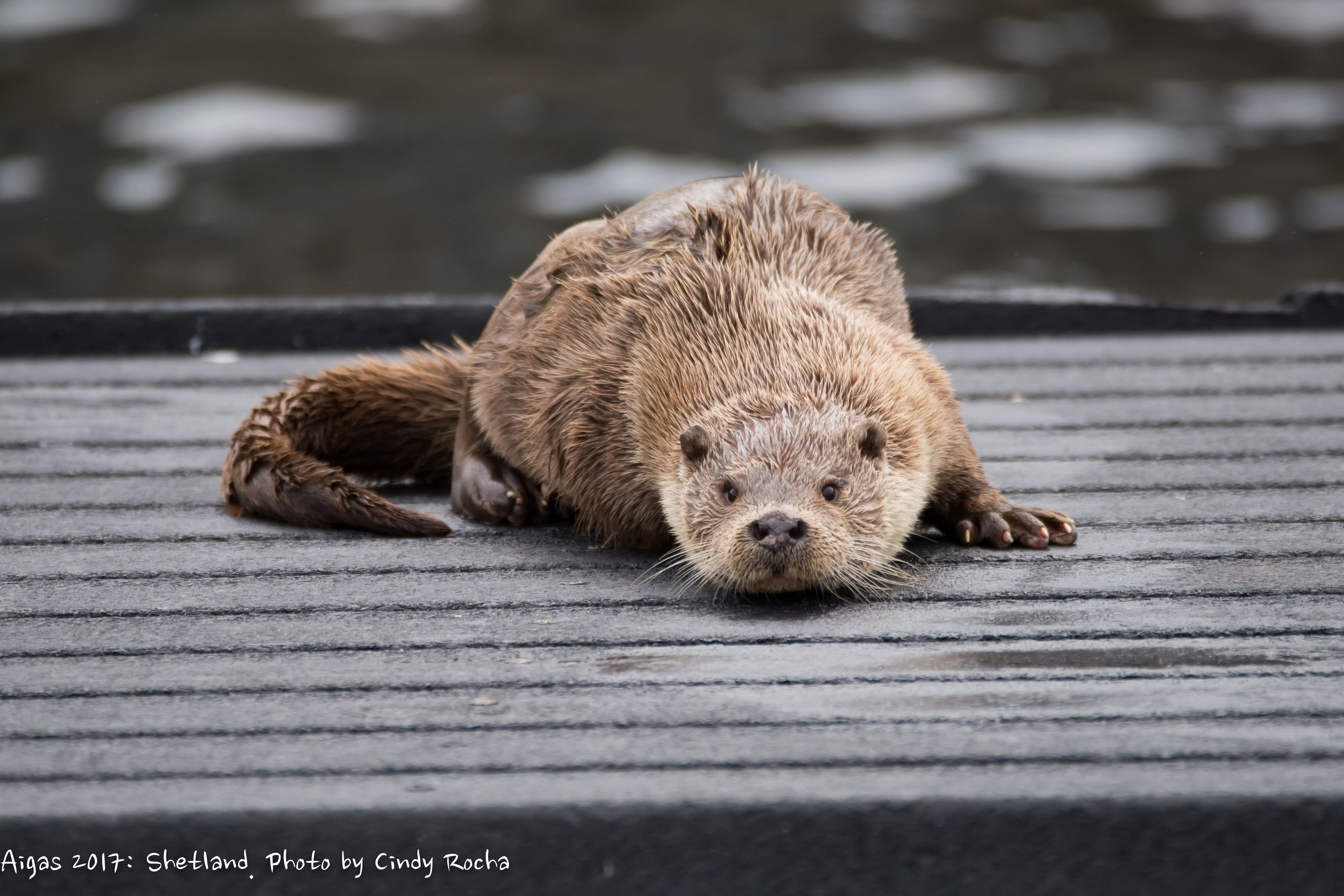 Otters frequently visit the Aigas loch and can be seen at