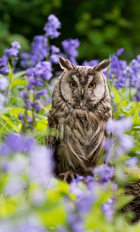 "featheroftheowl: "" Long-eared Owl by C Fredriksson """