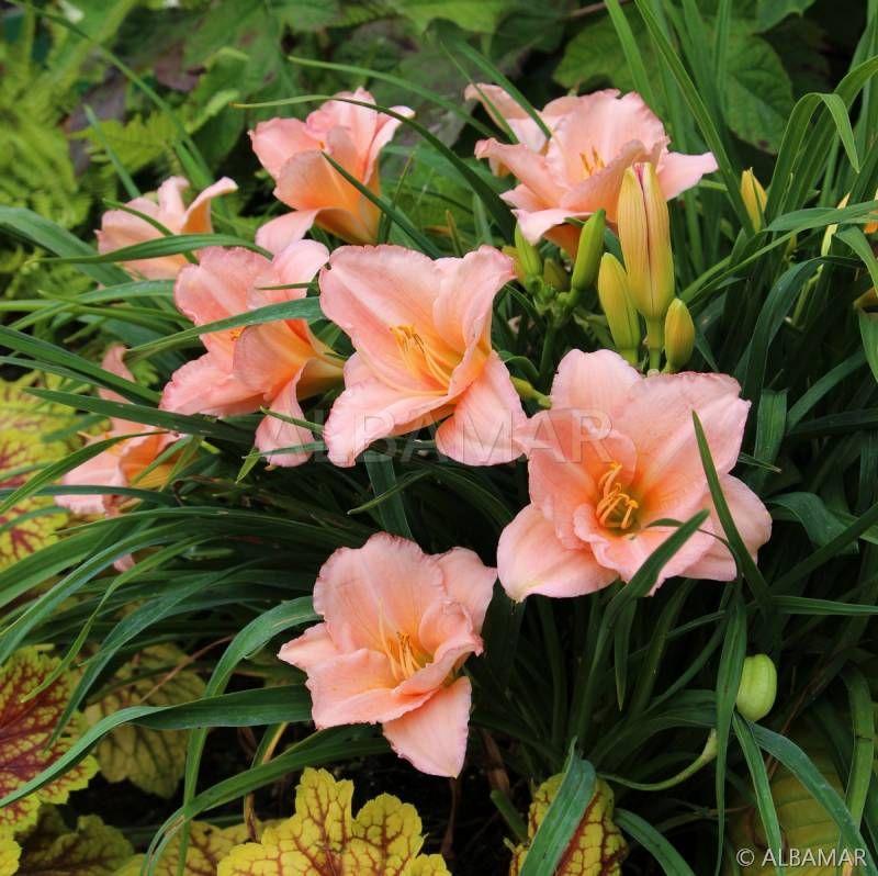 Liliowiec On And On Hemerocallis On And On Albamar Plants Garden