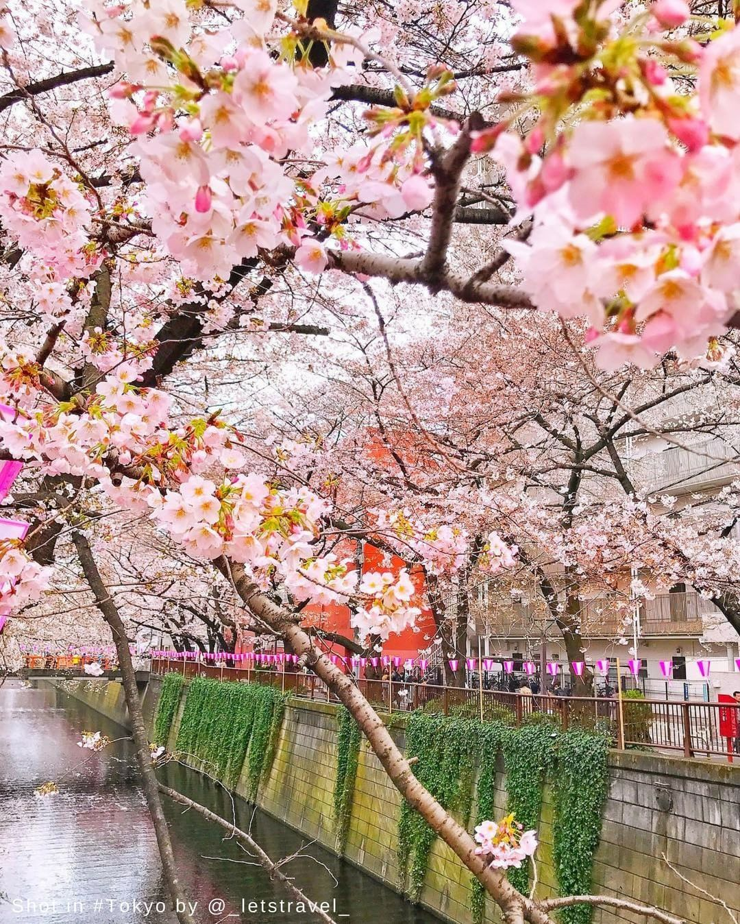Shangriladestinations Watch Japan S Delicate Cherry Blossoms Spring To Life As The Warm Weather Washes Across The Countr Tokyo Japan Hotels And Resorts Tokyo