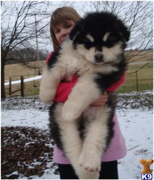 Giant Alaskan Malamute Puppy Giant Alaskan Malamute Puppies