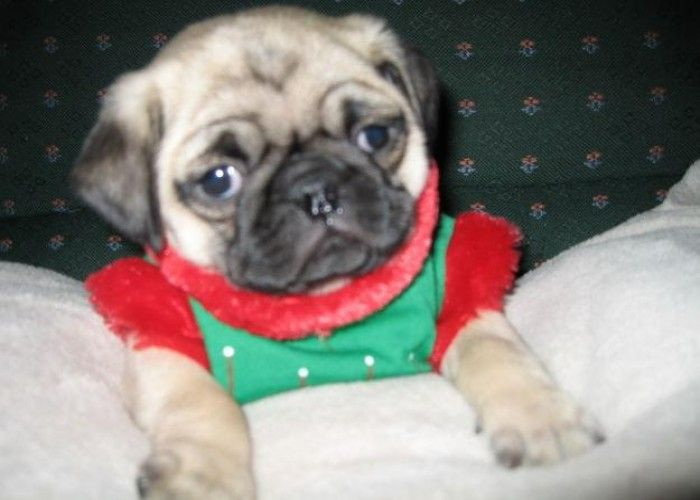 Pug Puppies Pug Puppies For Sale In Oakdale Minnesota