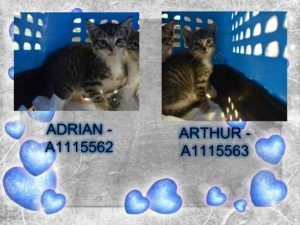 Adrian and Arthur came to us as strays with other kitties of different ages. Both are nervous however, can be handled and should go to experienced foster that will help socialize.