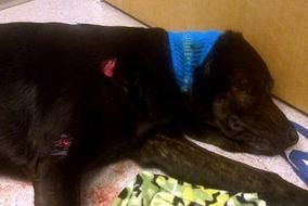 Town Of East Millinocket Offers To Pay Vet Bill Of Service Dog Shot By Police Service Dogs Dog Shots Dogs