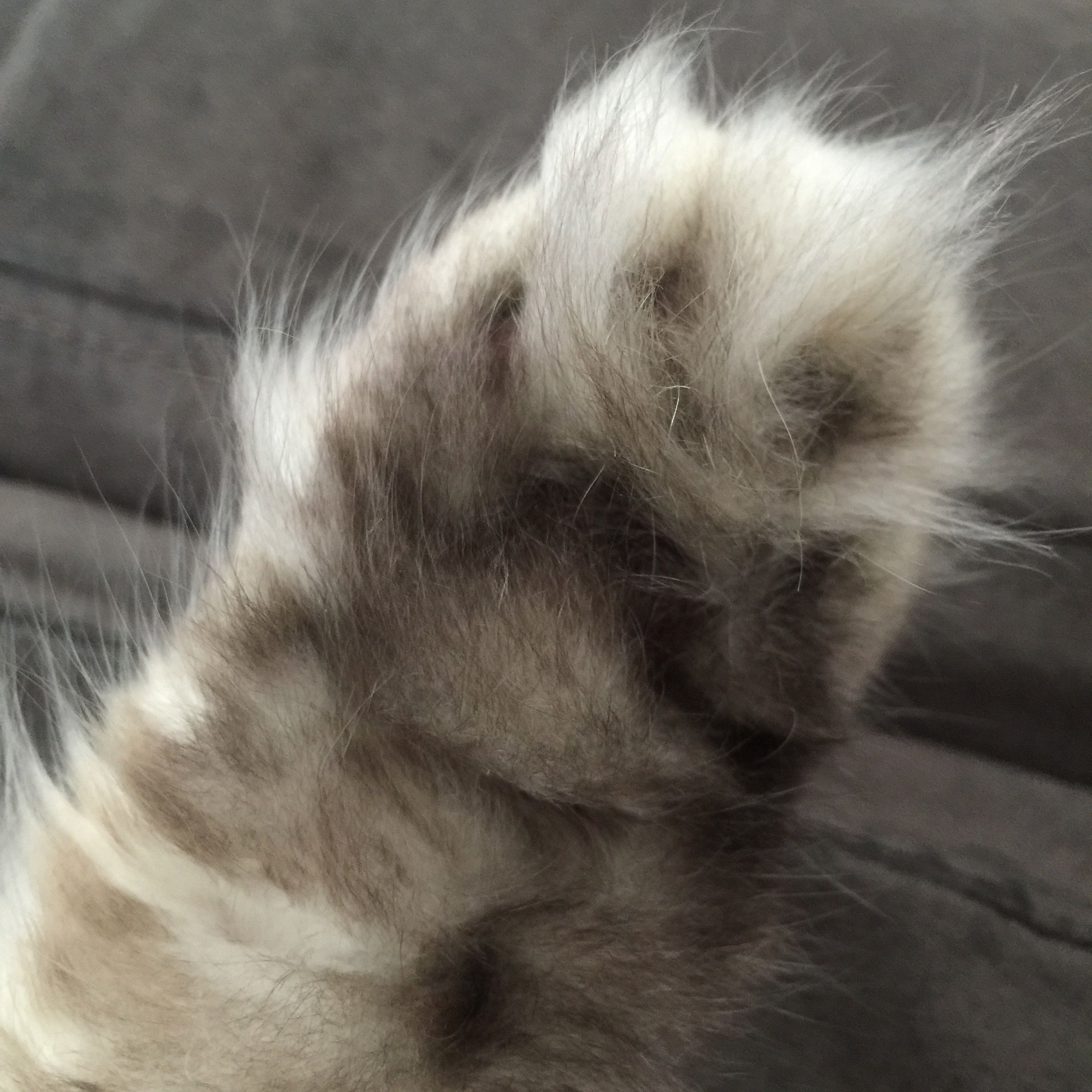 Pin By According To Amelia On Pets Fluffy Cat Persian Cat Cat Paws