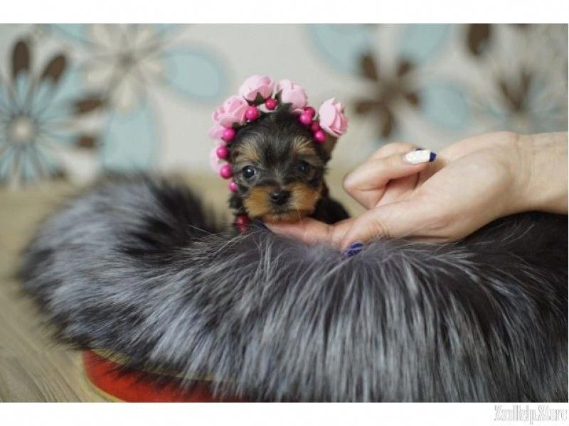Acquire Wonderful Tips On Yorkshire Terriers They Are Accessible