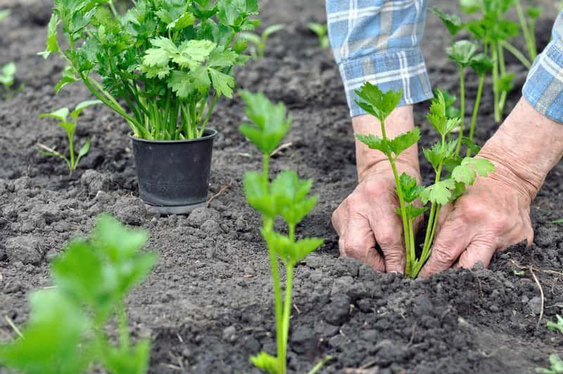 Sadzenie Selera I Rozsada Selera Czyli Sadzonki Selera I Flance A Takze Uprawa Selera Korzeniowego I Naciowego Growing Celery Plants Garden Design Pictures