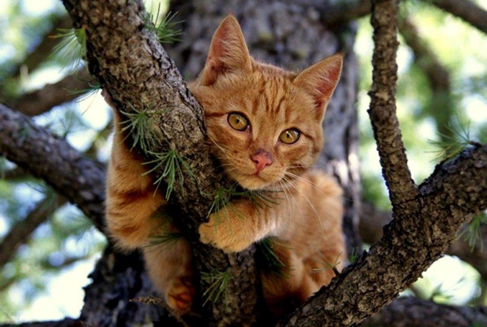 Рыжик на сосне & Кошки на деревьях & Фото в 2020 г (с ...