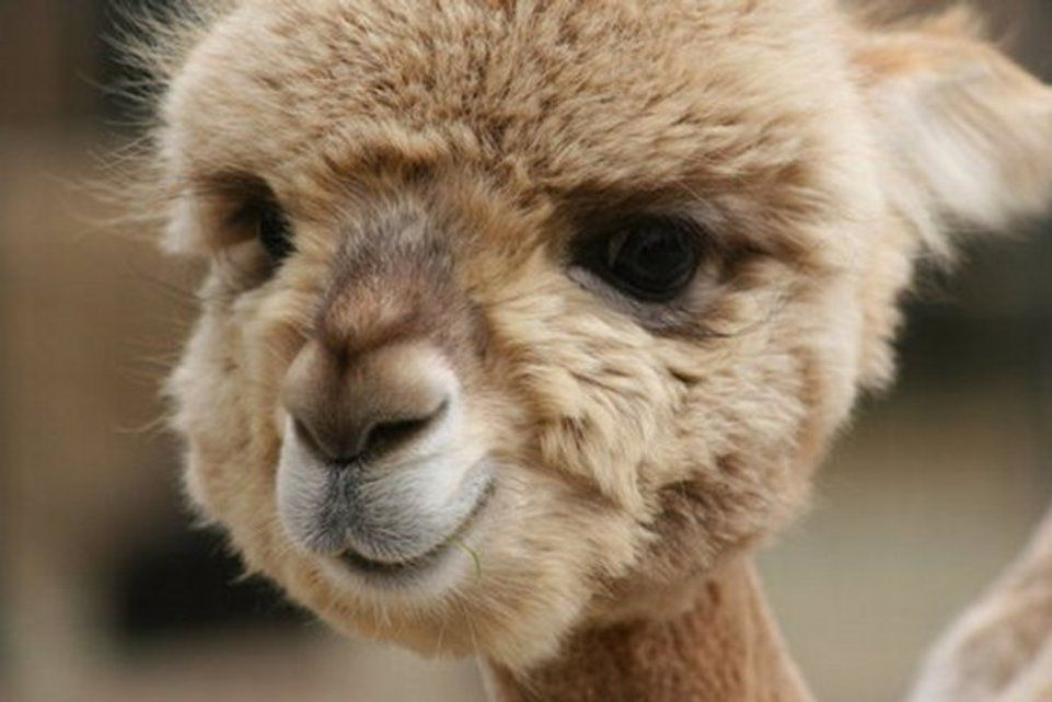 Baby Camel | Animal Cuteness | Smiling animals, Cute baby ...