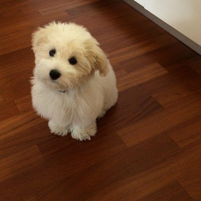 coton de tuléar leo pinterest chien chiot et coton de tuléar