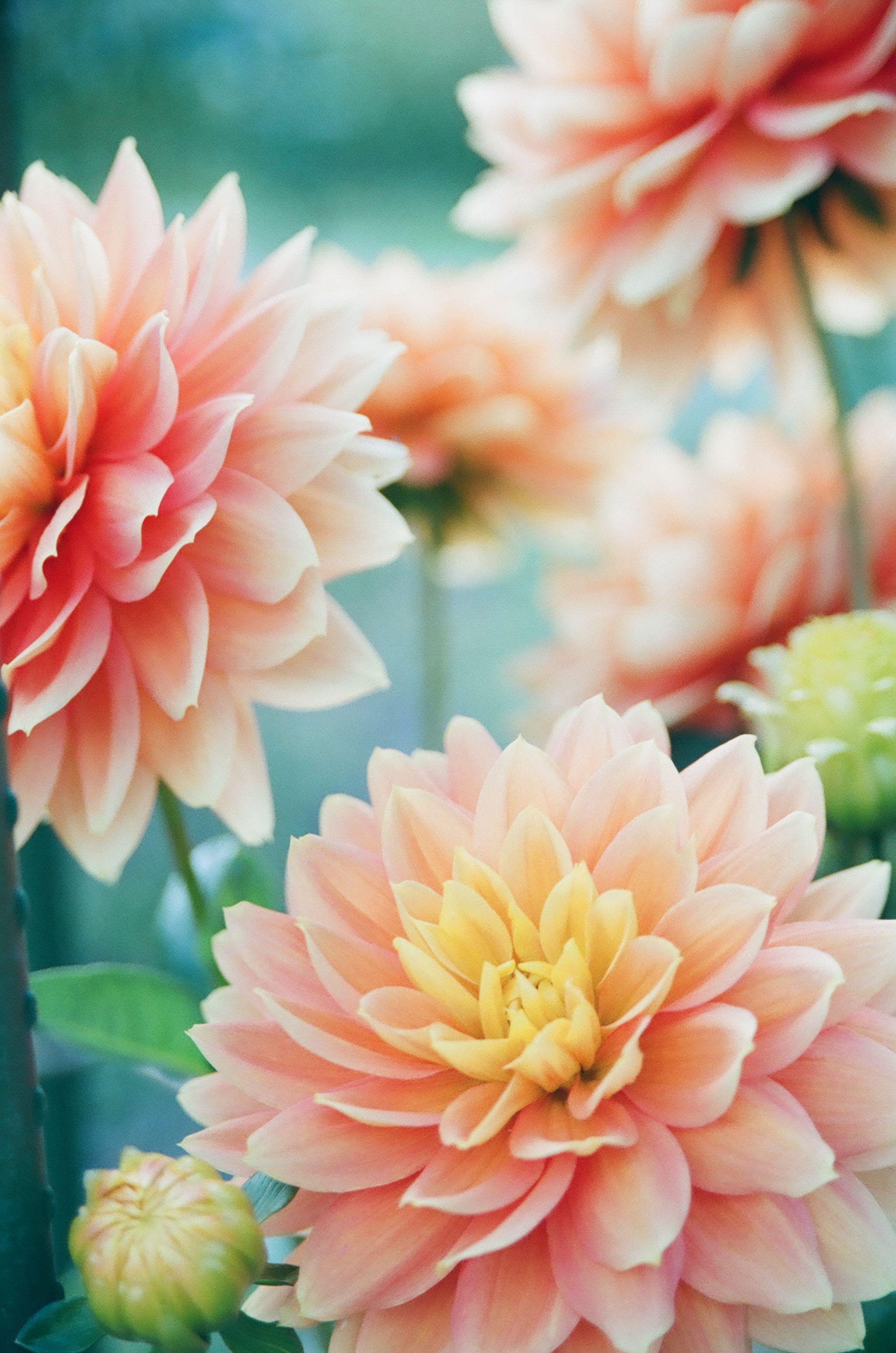 Vines Kanken Dahlia Kanken Dahlia Dahlia Flower Arrangements Dahlia Meaning Dahlia Flower Tattoo Dahlia In 2020 Flower Pictures Flower Wallpaper Dahlia Flower