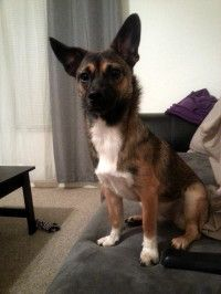 Scottsdale Az Border Terrier German Shepherd Dog Mix Meet Baby