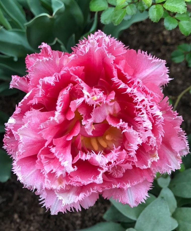 Cool Crystal Fringed Tulip bulbs Beautiful size 12 bulbs Stunning ! 3
