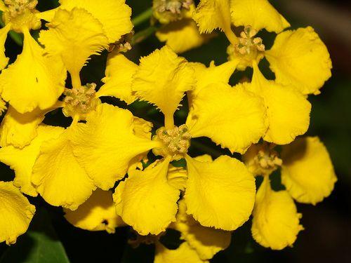 Mascagnia macroptera at Monrovia and San Marcos Nurseries