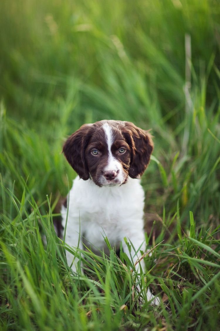 American brittany puppy brittany puppies american