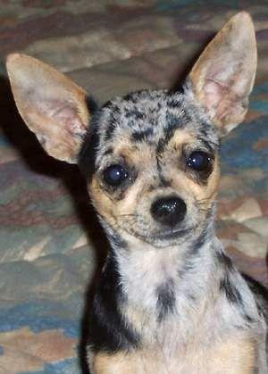 Merles Chihuahuamama Chihuahuas For Sale Arizona Arizona