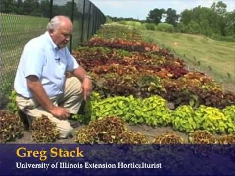 Garden Ideas Videos coleus - many varieties for full sun"