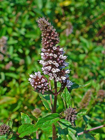 Peppermint - 12 Mosquito Repelling Plants