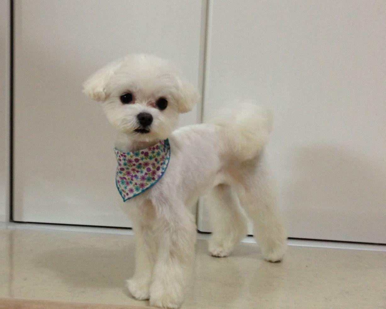 maltese hair cut , japanese summer cut | pets | dog haircuts