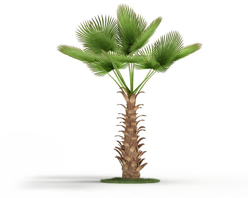 Chinese Windmill Palm Tree By Evermotion High Detailed Model Of Plant With All Textures Shaders And Materials It Is Ready To Plants House Plants Plant Sale