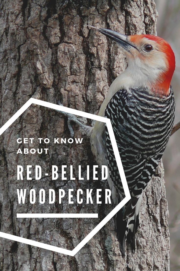 Red Bellied Woodpecker Wild Bird Store Attract Wild Birds Woodpecker