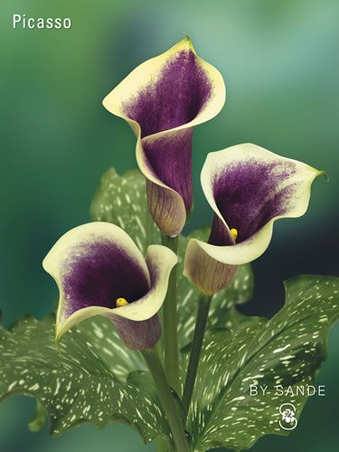 Calla Picasso Beautiful Flowers Blooming Plants Flower Garden