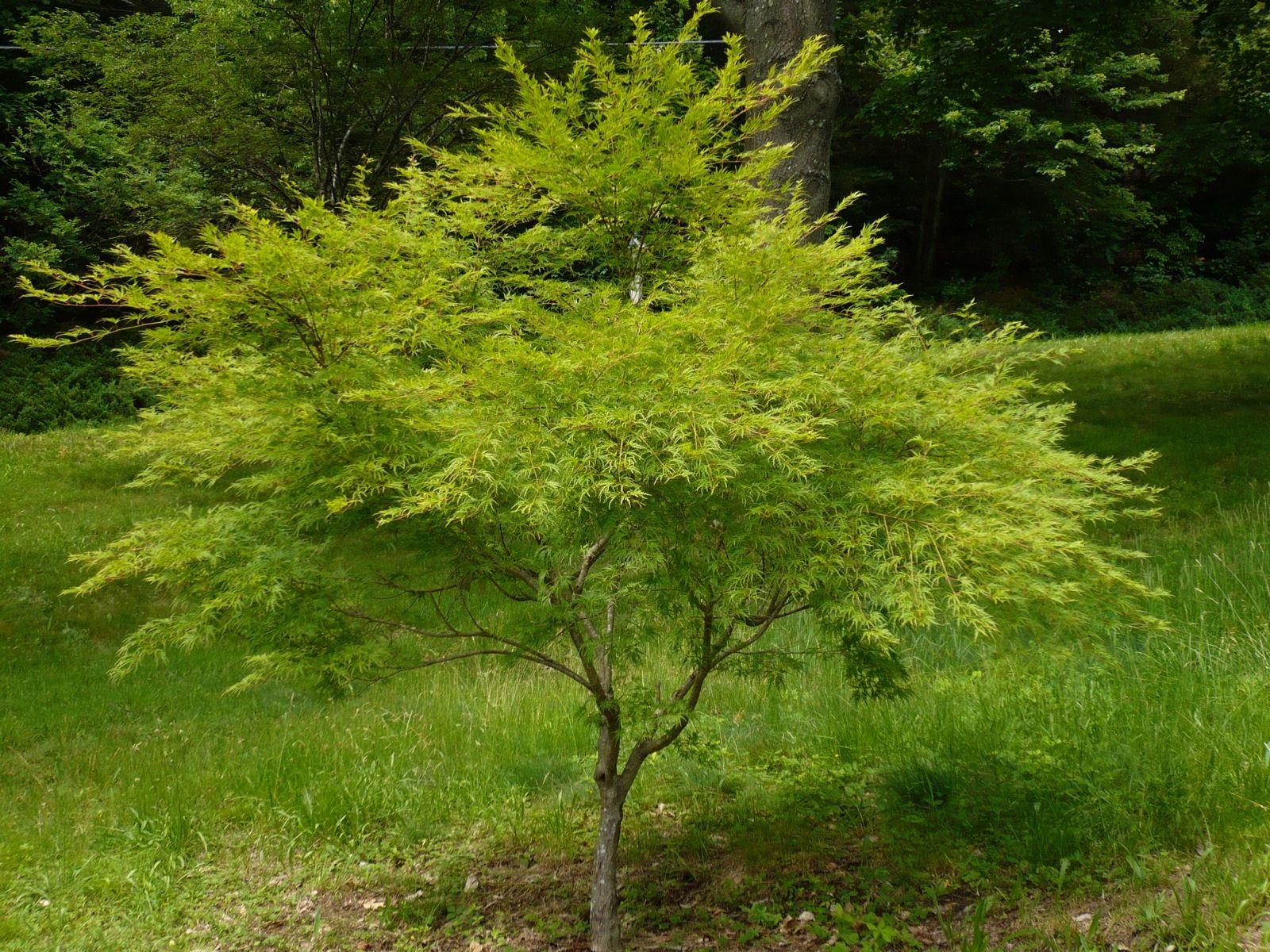 Acero Giapponese Verde acero giapponese verde - cerca con google | verde, acer