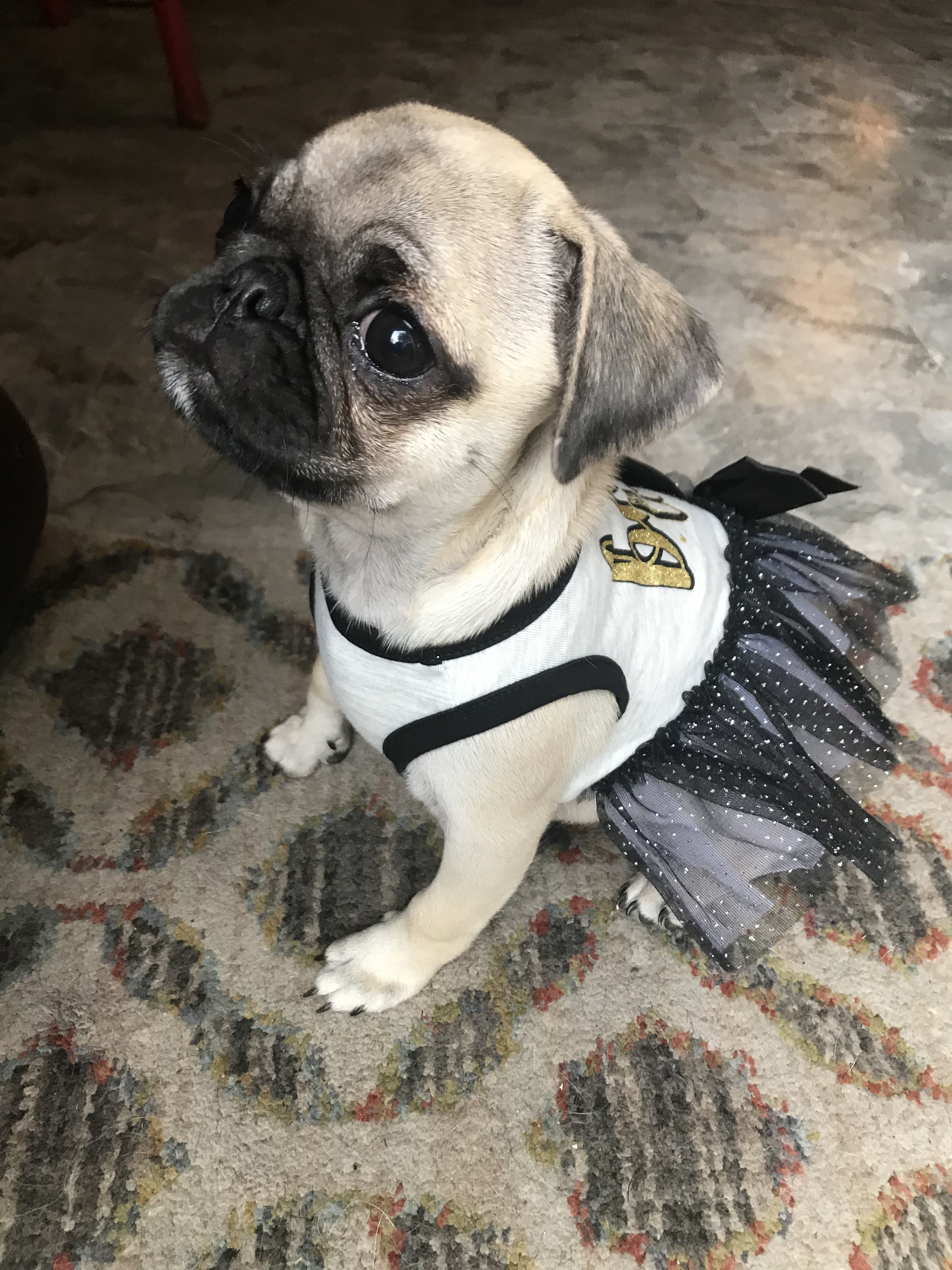 Pin By Helen Britt On Dogs In 2020 Pug Puppies Puppies Pug Dog