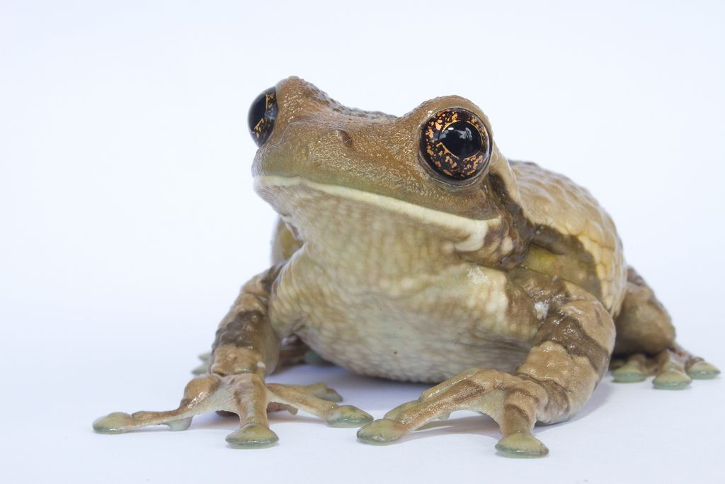 All Sizes Trachycephalus Venulosus Marbled Tree Frog Flickr Photo Sharing With Images Tree Frogs Frog Animals