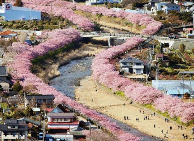 In Bloom Cherry Blossom Blossom Garden Blossom Trees