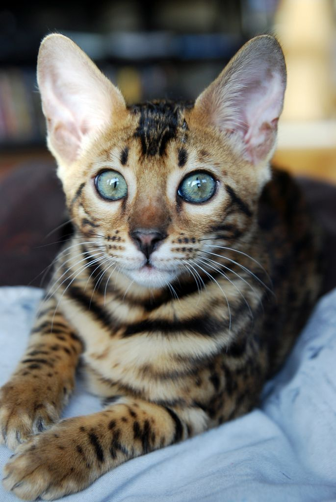Willow Lap Asian Leopard Cat Toyger Cat Cat Photography