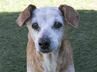 My name is Winnie and I'm an approximately 15 year old female chihuahua sh. I am already spayed. I have been at the Agoura Animal Care Center since January 9, 2016. I am available on January 20, 2016. You can visit me at my temporary home at AVET.
