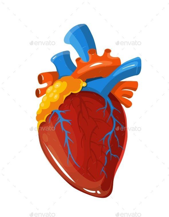 Human Heart Anatomy Vector Medical Illustration Medical Illustration Heart Anatomy Human Heart Anatomy