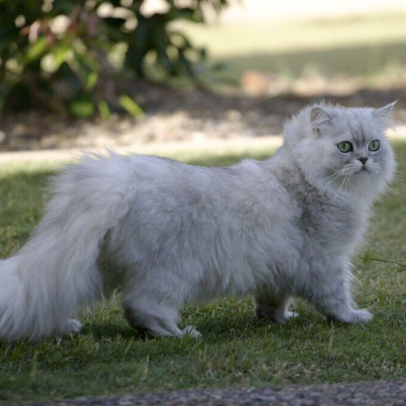 Pin By According To Amelia On Pets Persian Cat Cats Cute Cat