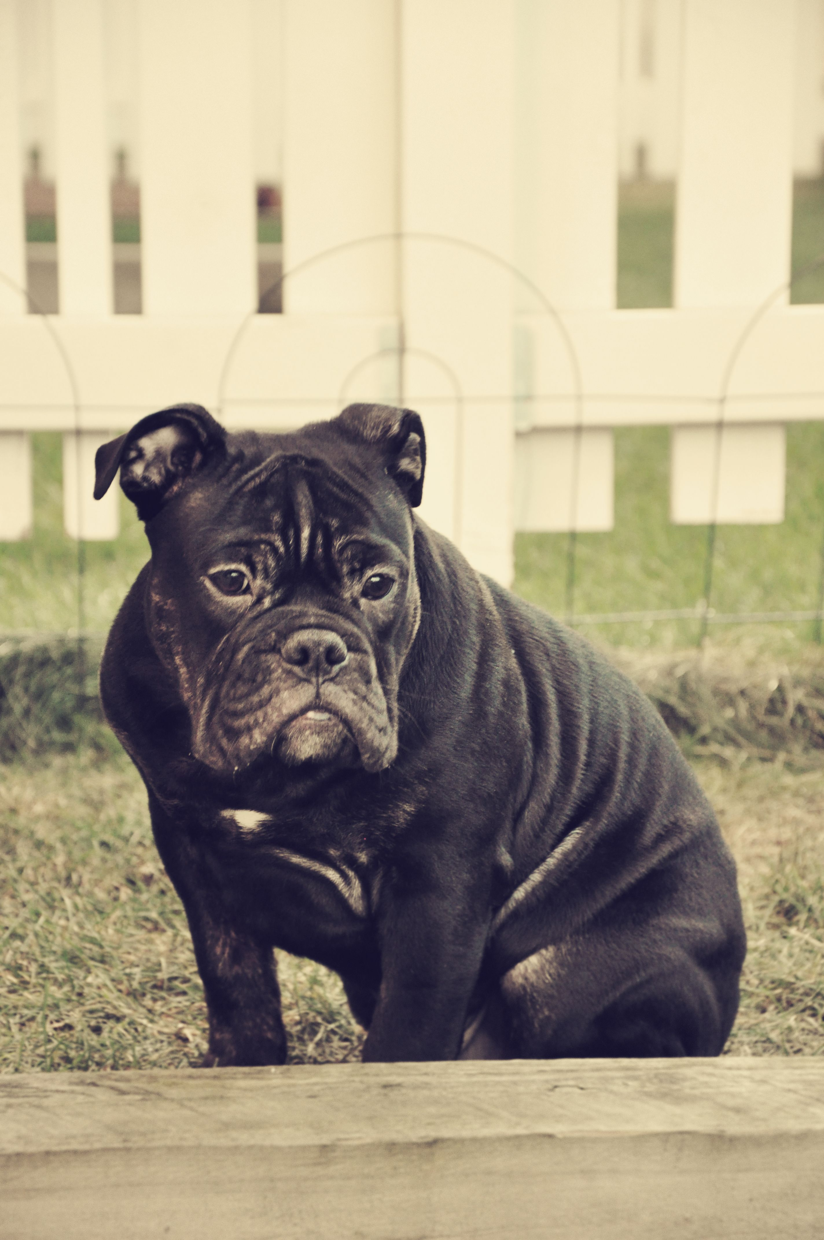 5 5 Months Old Olde English Bulldogge 5 Month Olds Bulldog Dogs