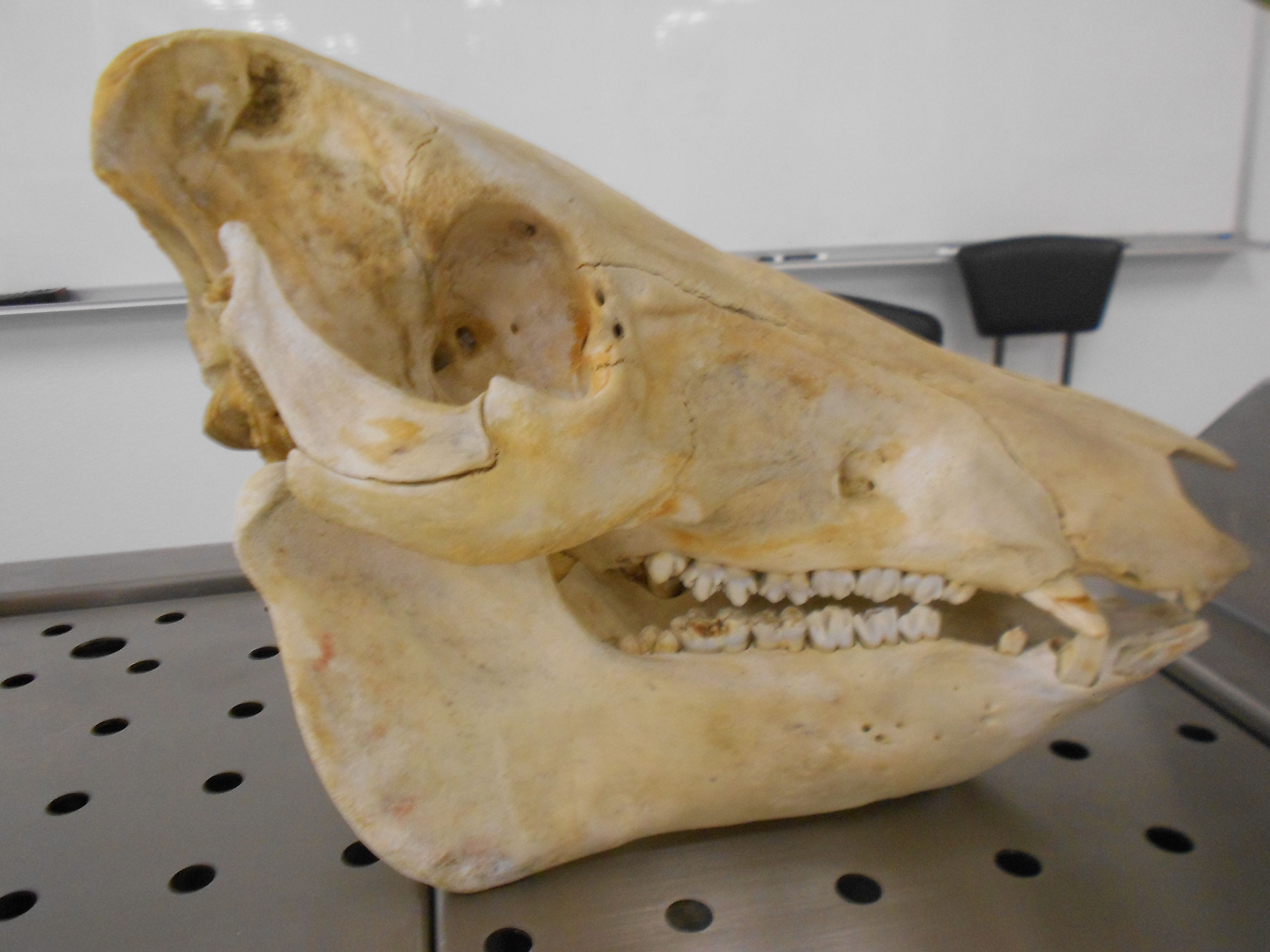 Porcine skull (pig) | Anatomy and physiology lab pics | Pinterest | Labs