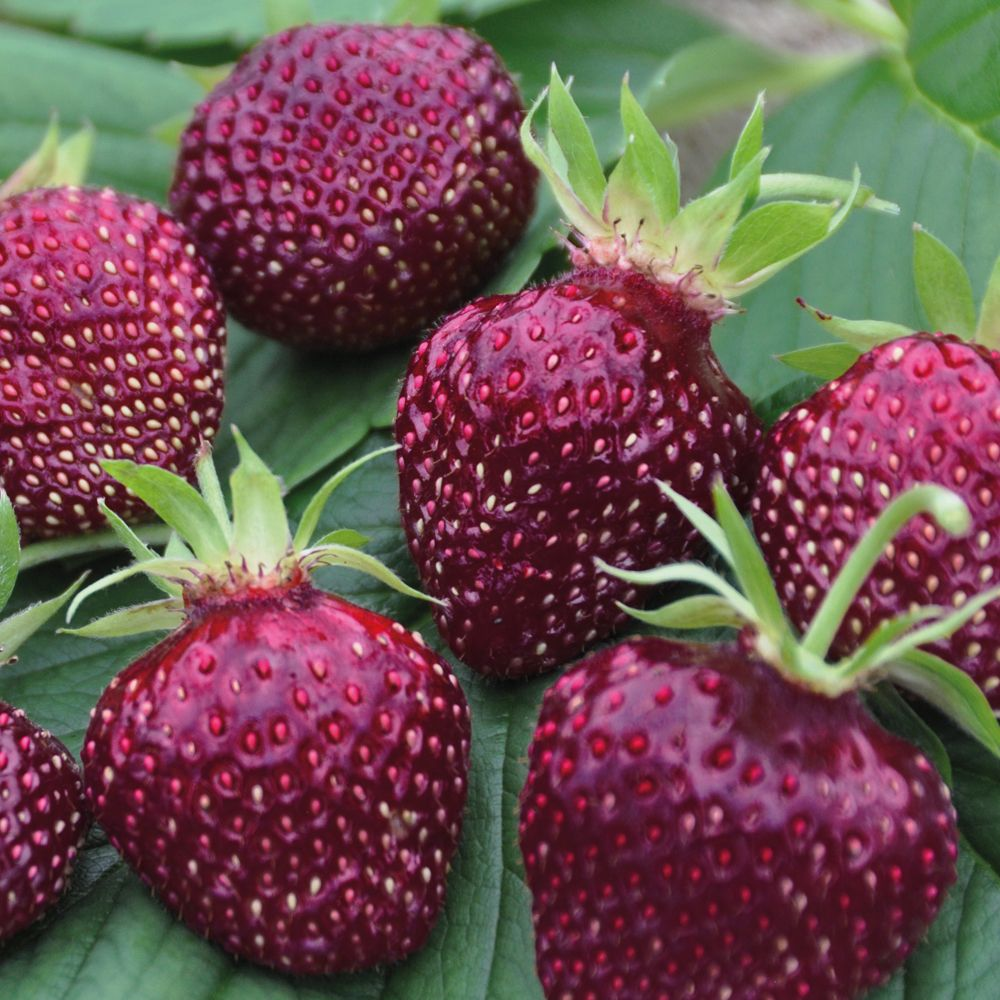 Strawberry 'Cherry Berry' - Strawberry Plants - Thompson & Morgan ...