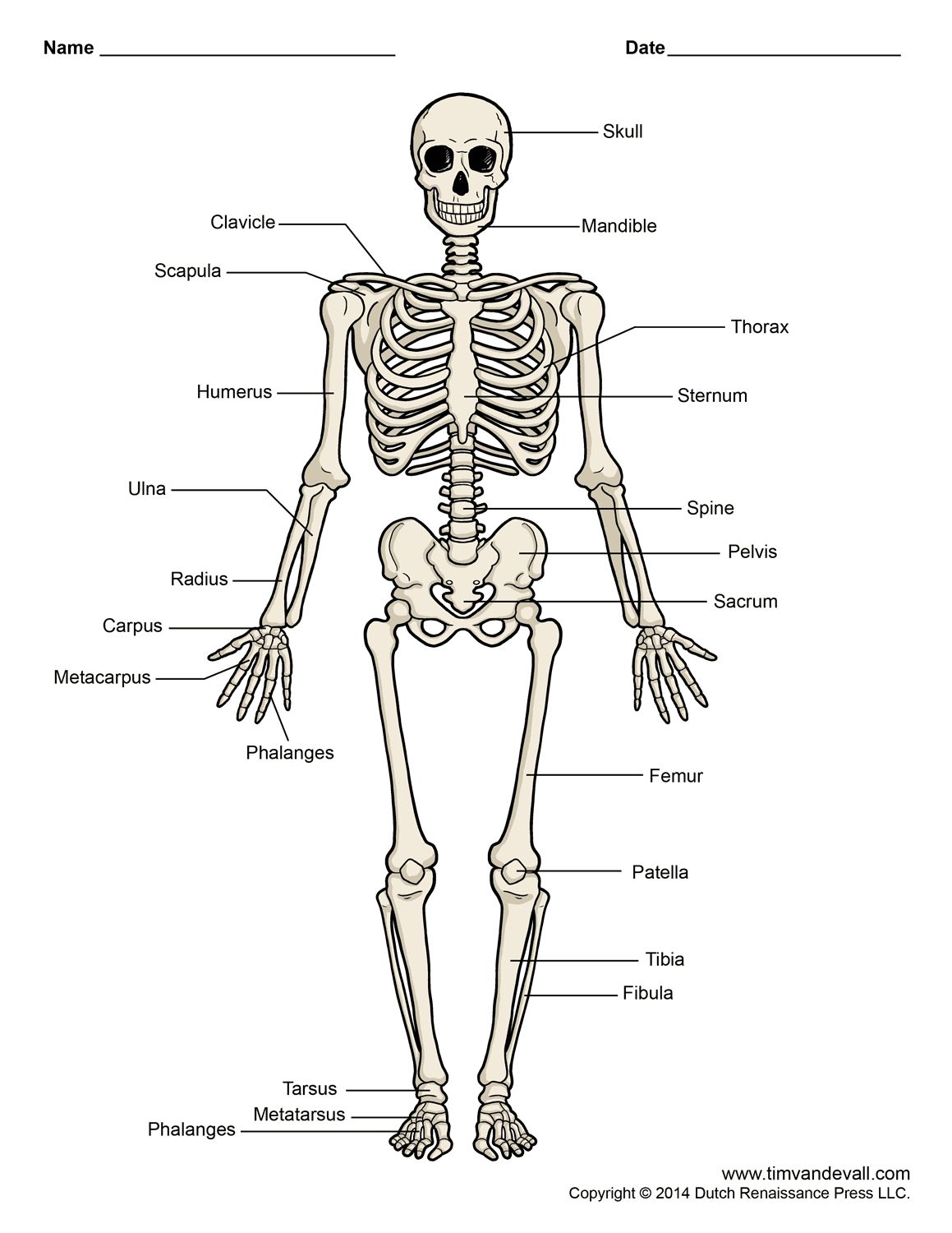 Diagram Of Human Skeleton Labeled Printable Human Skeleton Diagram ...