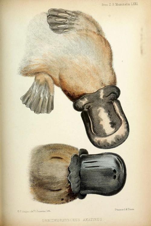 biomedicalephemera: Ornithorhynchus anatinus - platypus | Platypuses ...