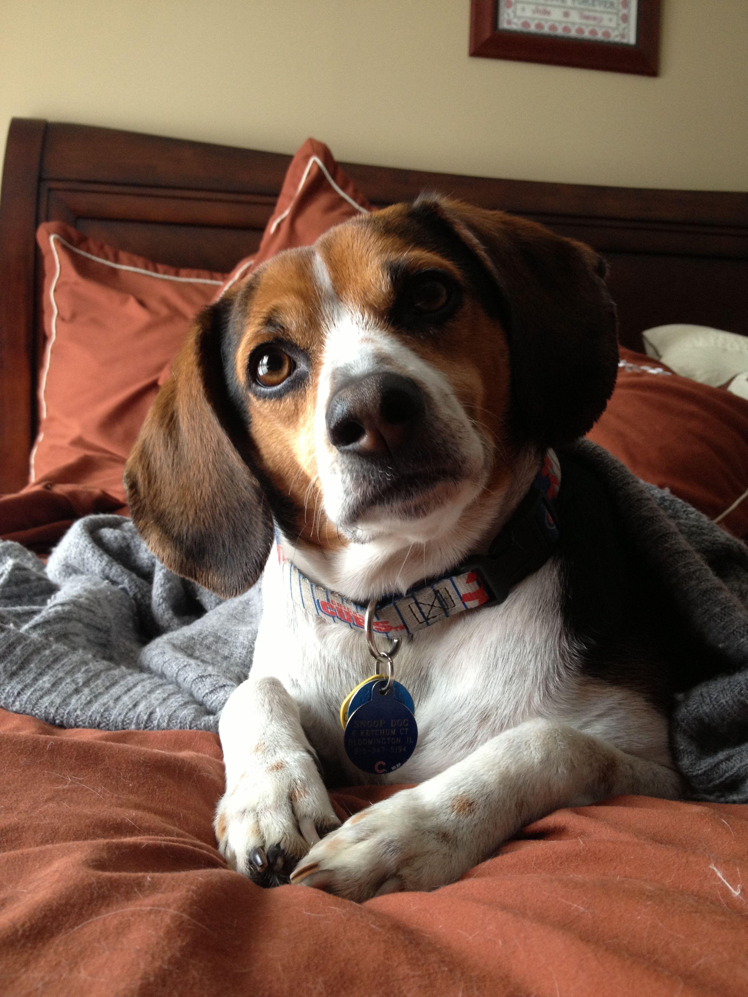 Beagle Faces Curious Beagle Beagle Puppy Beagle Beagle Dog