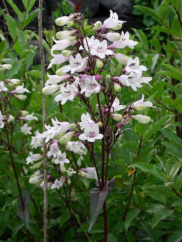 penstemon digitalis tall white beardtongue botanical pinterest