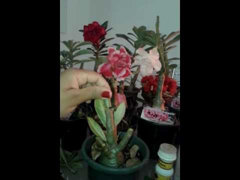 ROSAS DO DESERTO NA CHUVA 1 - YouTube