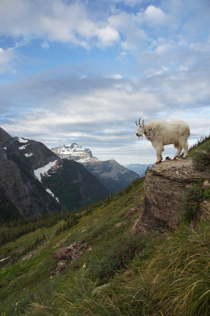 Wild Mountain Goat at Glacier National Park in Montana