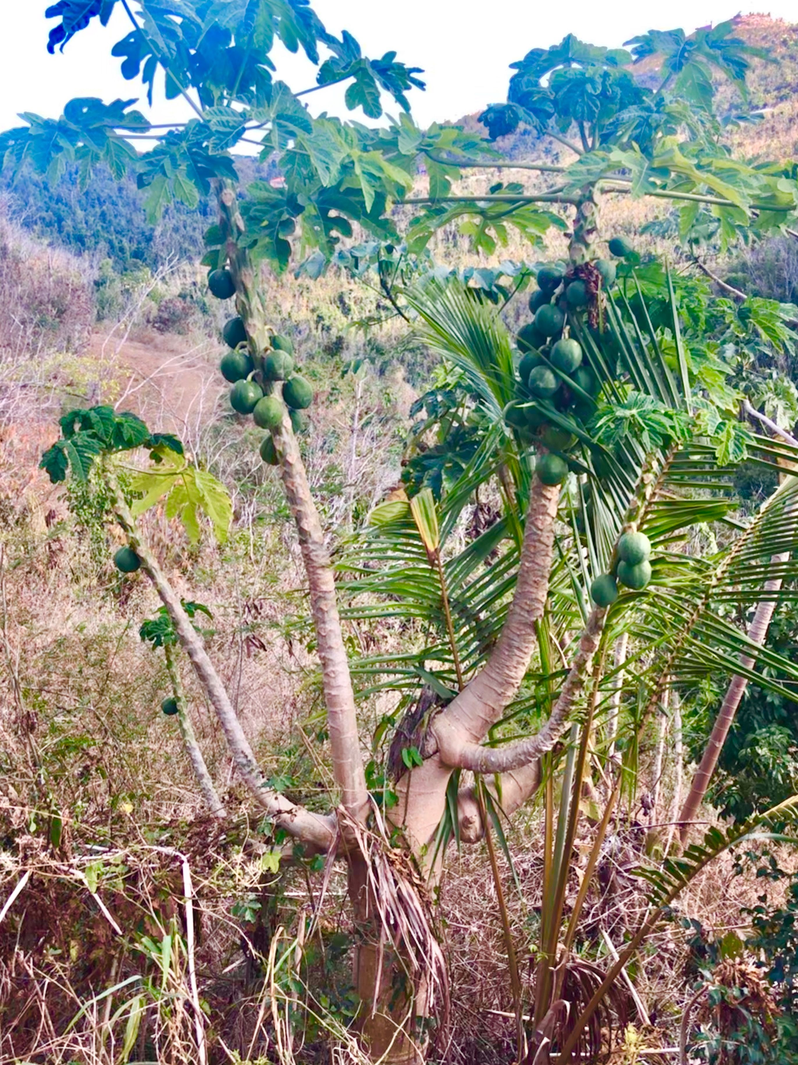 Papaya Tree Papaya tree, Plants, Nature