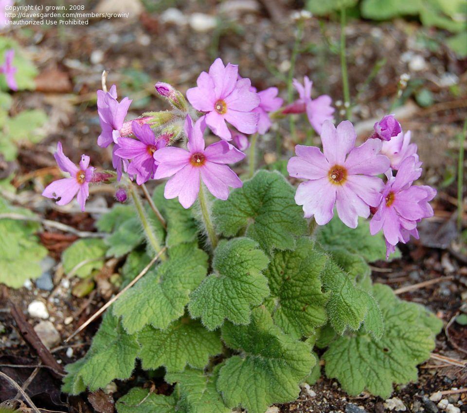 Primula, Primrose  Primula kisoana, gardening-guy.com  spreads by root, shade or morning sun