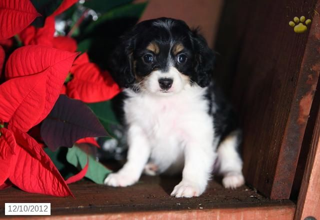 Puppies For Sale Lancaster Puppies Puppies For Sale Cavachon Puppies Lancaster Puppies