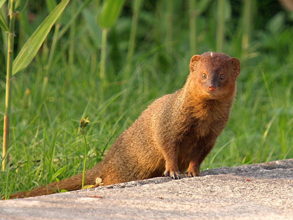Collared Mongoose